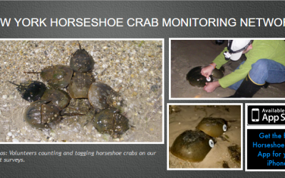 Join Horseshoe Crabs Study by CCE at Westhampton Dunes