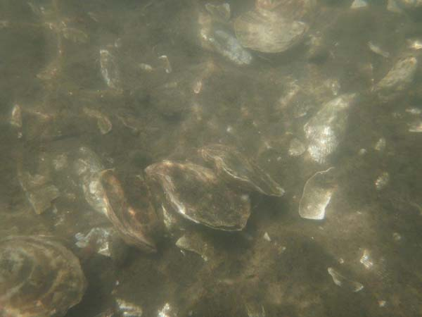 2017-spring-oyster-bed-underwater 1